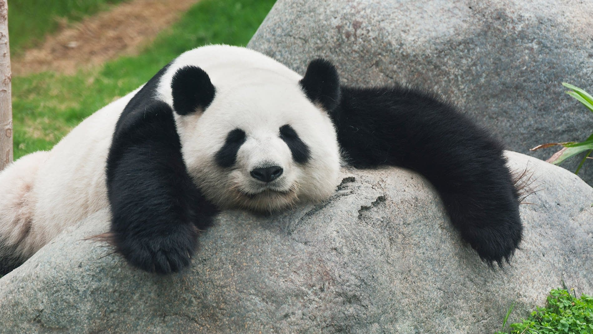 Pandas~Previously endangered now classed as
